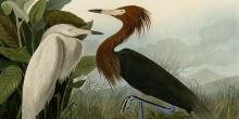 John James Audubon's plate of 2 purple herons.